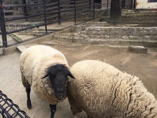 「五月山動物園」羊にエサをあげる