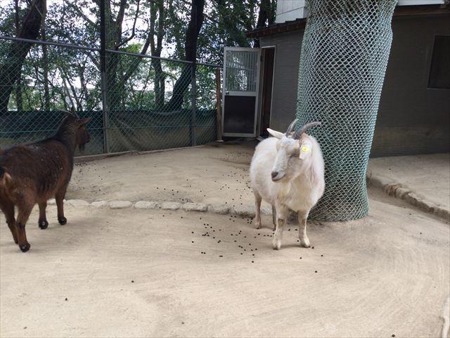 「五月山動物園」ヤギ2匹