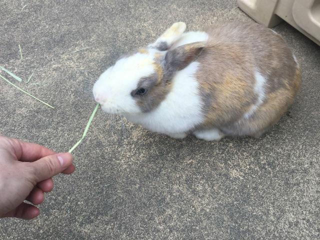 五月山動物園「ふれあいひろば」のウサギに草をあげている様子