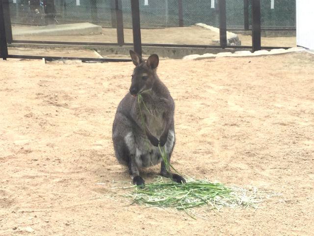 「五月山動物園」のワラビー