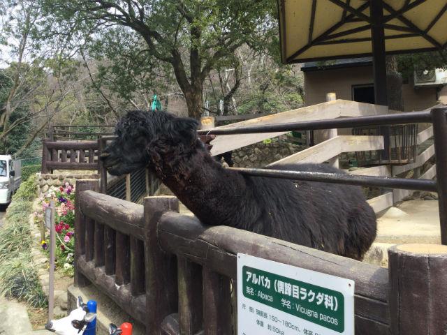 「五月山動物園」エサに反応するアルパカ