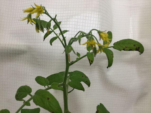 ハートマト栽培、ハート形トマトの花が増え始める