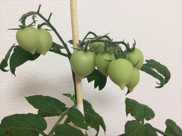 ハートマトの実が大きくなってきた