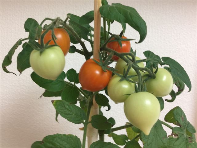 ハートマトの実の色がオレンジ色になってきた