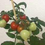 ハートマトの実が赤くなる
