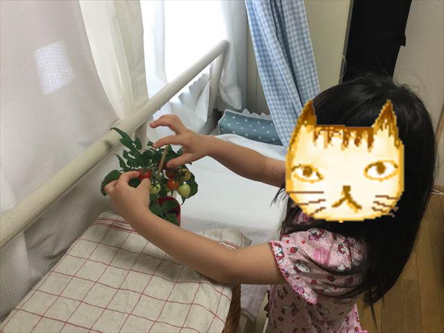 子供がハートマトを収穫している様子