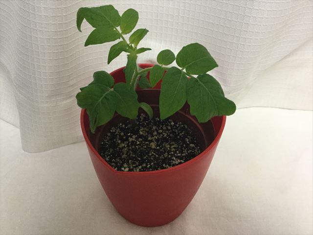 「ハートマト栽培セット」の苗がどんどん育って、茎も太くなっている