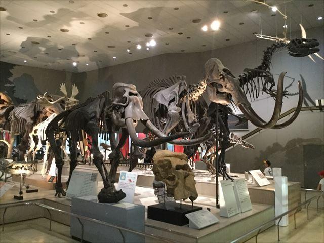 「大阪市立自然史博物館」のナウマンゾウなどの化石