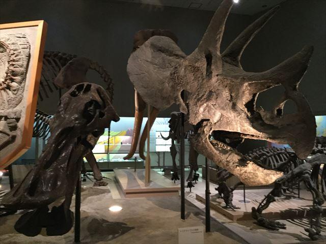 「大阪市立自然史博物館」トリケラトプスの化石
