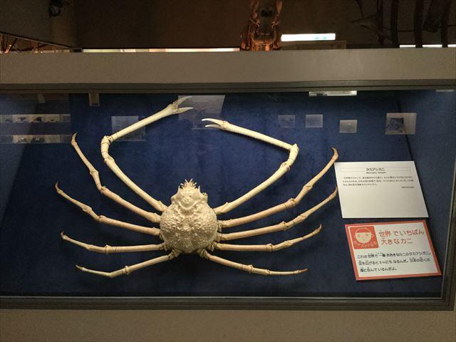 「大阪市立自然史博物館」世界一大きなカニ「タカアシガニ」
