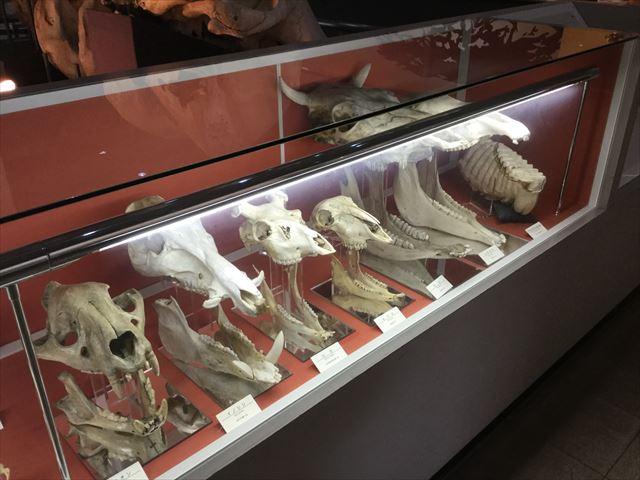 「大阪市立自然史博物館」現存する生き物の骨