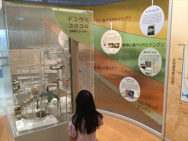 「大阪市立自然史博物館」ドングリころころ