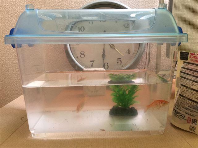 虫かごに入ってやってきた金魚すくいの金魚2匹