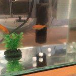 GEX「塩で元気!カンタンタブレット」を金魚の水槽に入れた様子