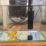 我が家が飼っている金魚2匹と水槽