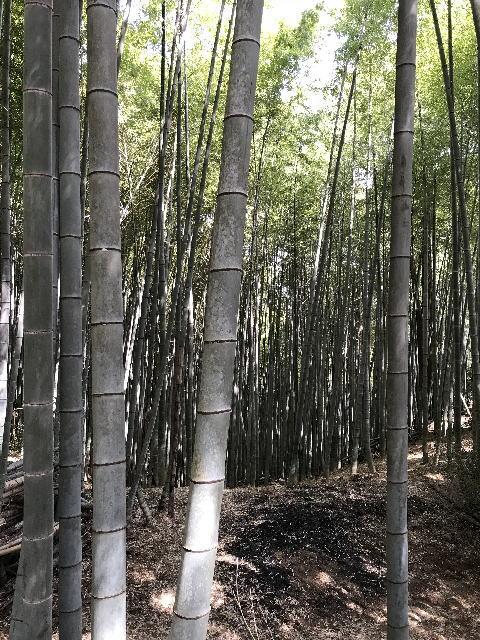 天王山登山、竹林の様子