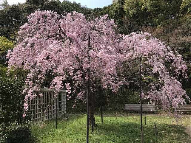 須磨離宮公園「植物園」に咲く満開の枝垂桜