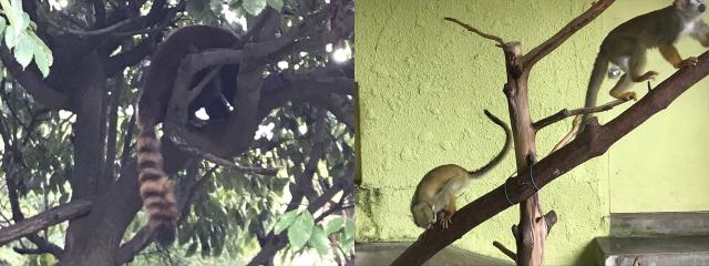ひらかたパークのミニ動物園にいるレッサーパンダとリスザル