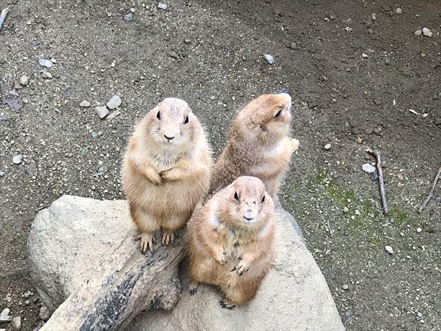 ひらかたパークのミニ動物園にいるプレーリードッグたち