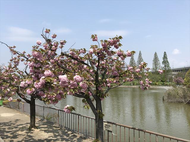 城北公園、桜と池