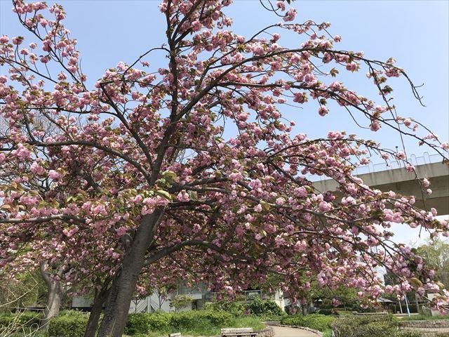 城北公園、池の周りの桜。菅原城北大橋より