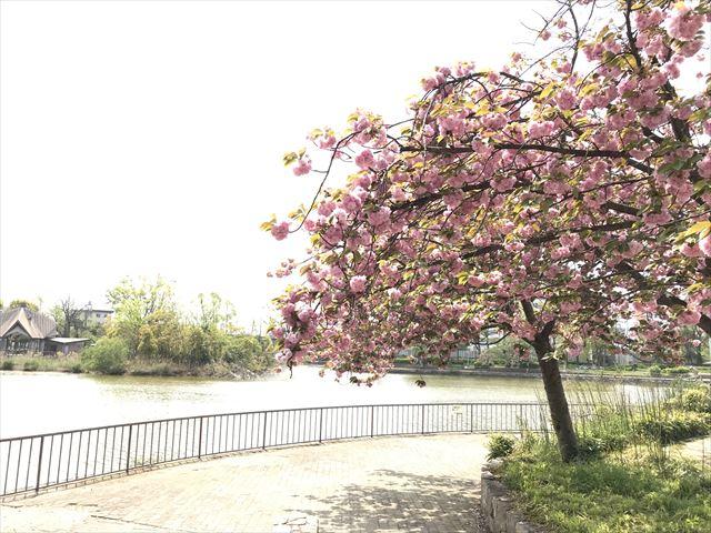 城北大橋の池と桜