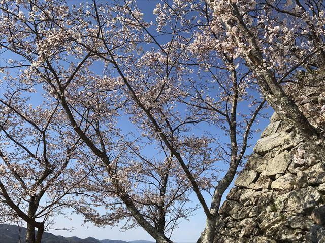 洲本城の桜