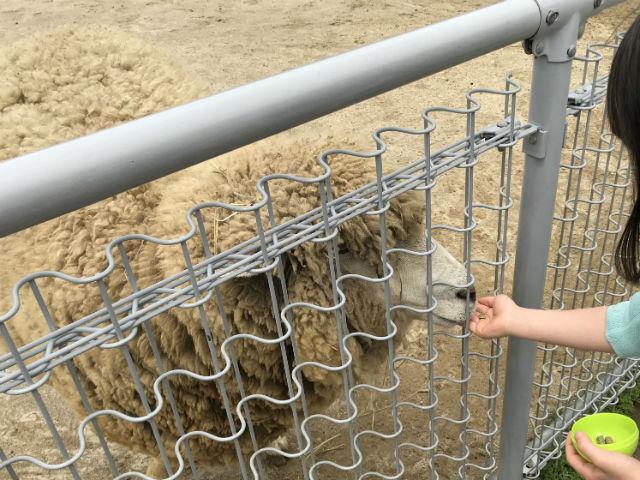 「天王寺動物園」ふれあい広場のヒツジにエサやりをしている