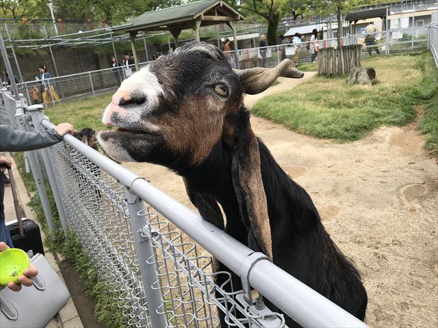 「天王寺動物園」ふれあい広場のヤギがエサを欲しがっている