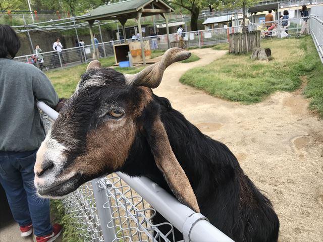 「天王寺動物園」ふれあい広場のヤギがエサを欲しがりネットの上から顔をのぞかせている
