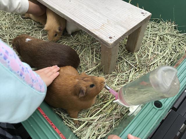 「天王寺動物園」テンジクネズミ(モルモット)が水を飲んでいる時にテンジクネズミ(モルモット)を撫でている。