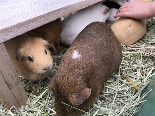 「天王寺動物園」テンジクネズミ(モルモット)のふれあい体験。テンジクネズミ(モルモット)の色が白・茶色・薄茶色