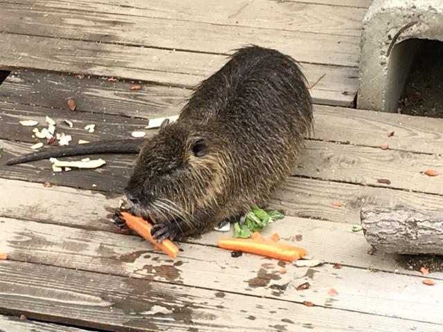 天王寺動物園のヌートリアがエサ(人参)を食べている様子