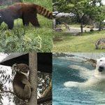 天王寺動物園おすすめ動物たち(レッサーパンダ、ホッキョクグマ、アフリカサバンナエリア、コアラ)