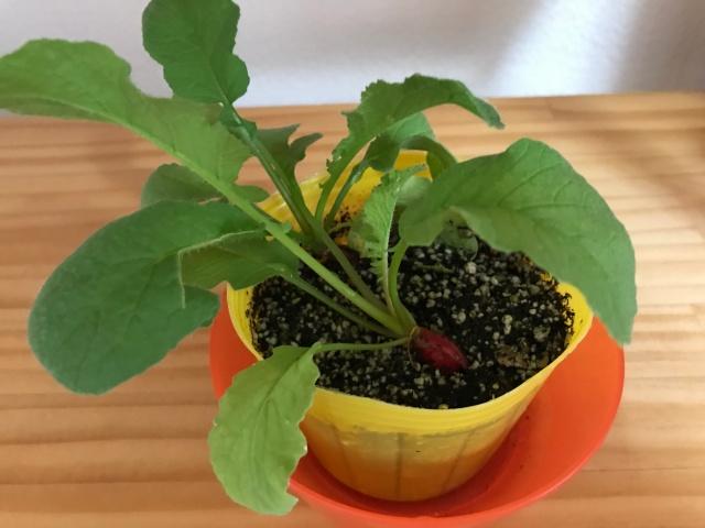 ラディッシュ栽培。種植えから1ヶ月後の様子