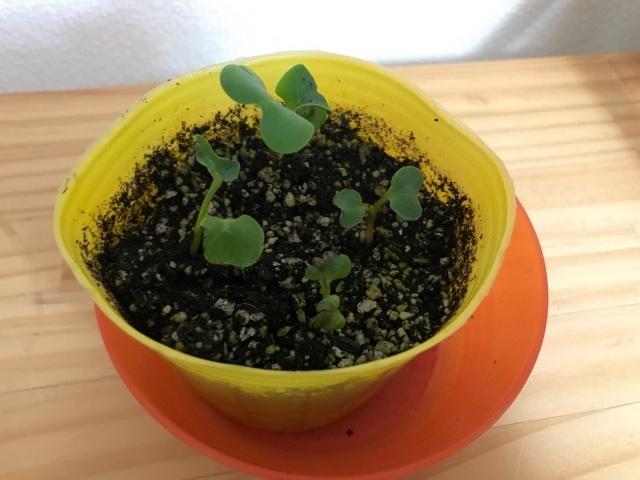 2度めのラディッシュ栽培。よく育っている