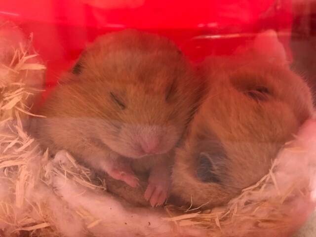 ハムスターが家で寝ている